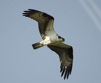 【鳥】育雛、鶚、鷹揚、図南の翼、鴻鵠の志